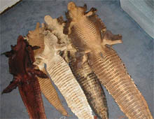 alligator, skin, hydes, hides, tail, leather
